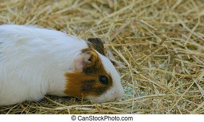 Guinea pig eating hay in zoo - Guinea pig eating hay in...