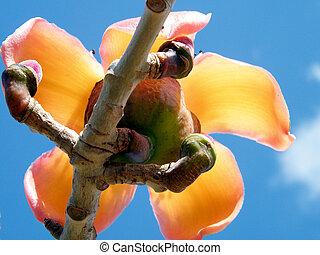The Bombax ceiba flower in Edith Wolfson Park in Ramat Gan,...
