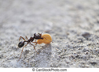 ant - close up of ant carrying seed