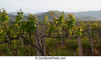 Trunks of grapes with young leaves