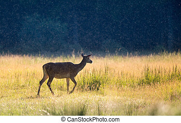 Hind walking on meadow at sunset - Alone hind (red deer...