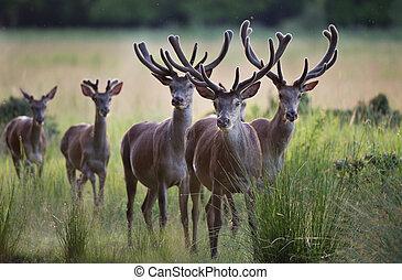 Red deer herd standing on meadow - Group of red deers with...