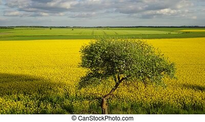Rapeseed field yellow green Aerial view of countryside,...