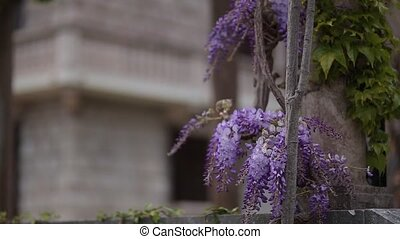 Flowering tree wisteria in Montenegro, the Adriatic and the...