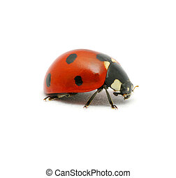 Ladybug on  white -  Ladybug isolated on the white