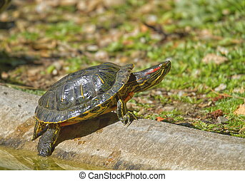 Red-eared slider turtle and sun and water