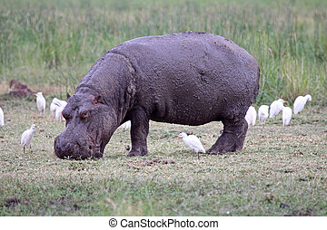 Hippo And Egrets - A mud covered hippopotamus grazing in...