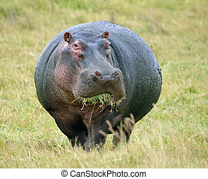 Hippopotamus Eating Grass - Large male hippo grazing in the...