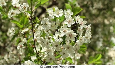 Blooming cherry orchard white flowers close-up