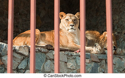 Pair of lions lying behind the bars. - Proud couple of lions...