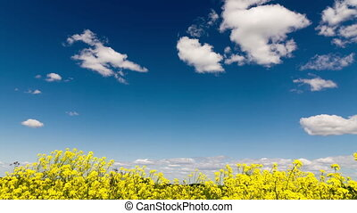 Time lapse clip of white fluffy clouds over blue sky over the field with yellow wild flowers