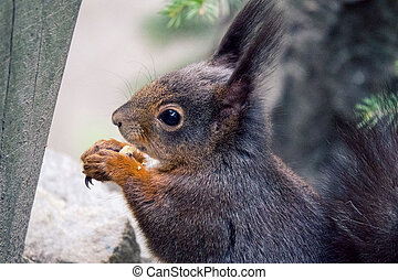 Red squirrel - European Red squirrel