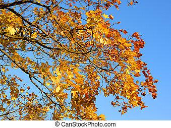 Maple tree at autumn.