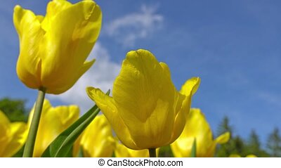 Blooming yellow tulips on a blue sky background, closeup of tulips swaying in the wind.