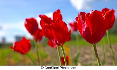 Blooming Red tulips on a blue sky background, closeup of tulips swaying in the wind.