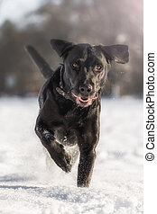 Running black labrador in the snow