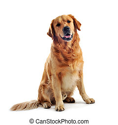 golden retriever - purebred golden retriever sitting in...