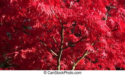 red acer in autumn