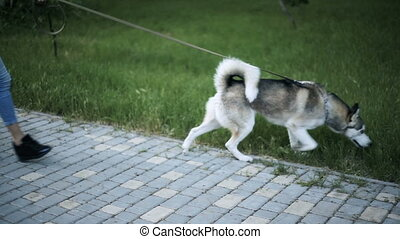Young sexy blond woman with very long flowing hair is walking in the park with a dog of Husky breed