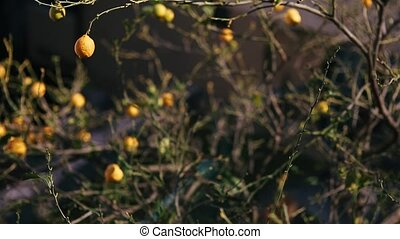 Yellow lemons on a lemon tree in Montenegro.