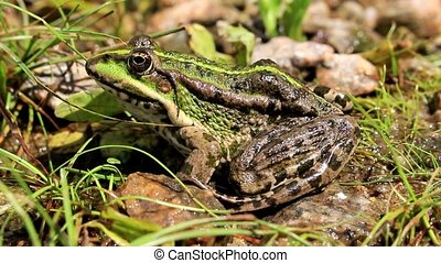 Black-spotted frog on stones - The black spotted frog hides...