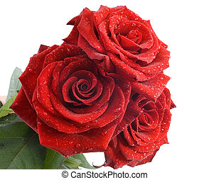 Three red roses with water drops on the white background