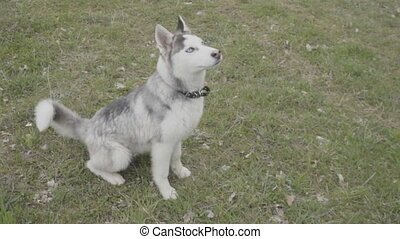 Husky breed dog sitting on lawn - A hussy breed dog sits on...