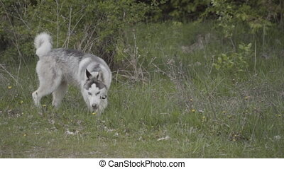 A dog of the Husky breed is sniffing something out on the...