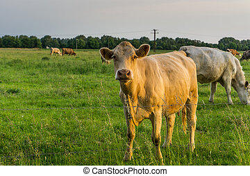 Cattle - cows on a pasture at sunrise