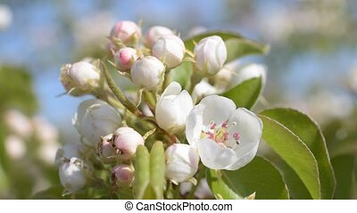 Open and unbudded flowers on pear tree - Pear tree branch...