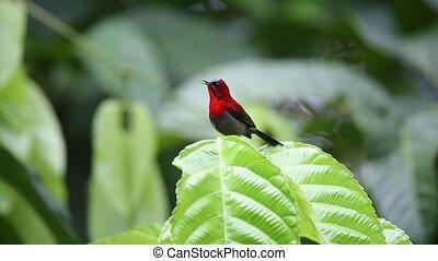 Crimson sunbird (Aethopyga siparaja) in Indonesia