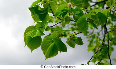 Nature background with linden branches and young bright...