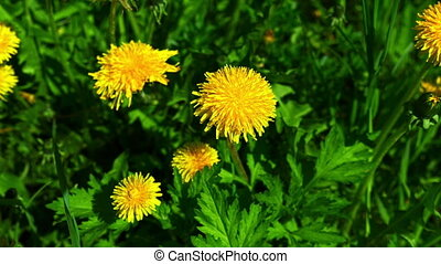 Nature background with dandelion yellow flower on a green field. FHD stock footage.