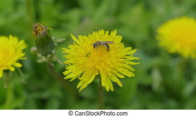 A bee collecting pollen on a yellow dandelion flowers on a green field. FHD stock footage.
