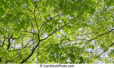 Maple trees in a spring park. FHD stock footage.
