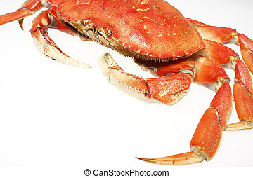 A cooked dungeness crab