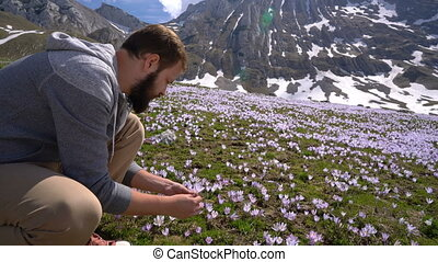 Bearded man gathers wild crocuses in the foothills