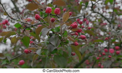 Garden with blossoming apple trees in spring. UltraHD stock...