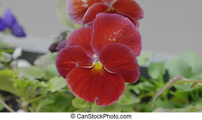 Beautiful flowers of violets in the wind. UltraHD stock...