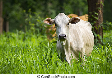 Image of white cow on nature background. Animal farm