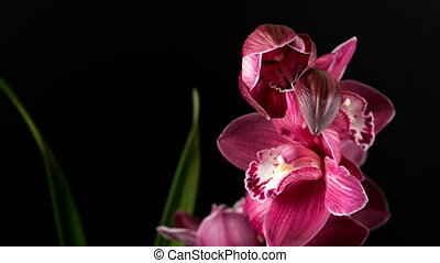 Cymbidium orchid flowers with leaves isolated on black background