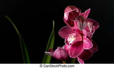 Cymbidium orchid flowers with leaves isolated on black...