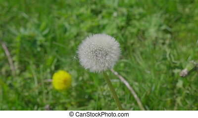 Nature background with dandelion flower on a green field....