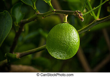 single lime fruit hanging from its tree