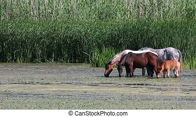 horses graze on the river