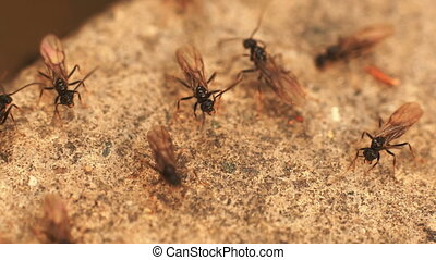 ants with wings
