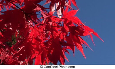 red acer against blue sky