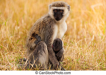 Vervet monkey with baby in arid savannah of Africa