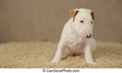 White puppy of bull terrier - Cute puppy of bullterrier on...