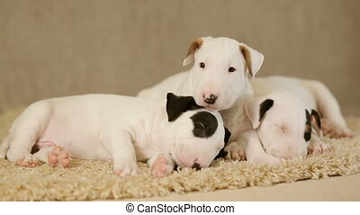Cute puppies of bull terrier - Cute puppies of bullterrier...